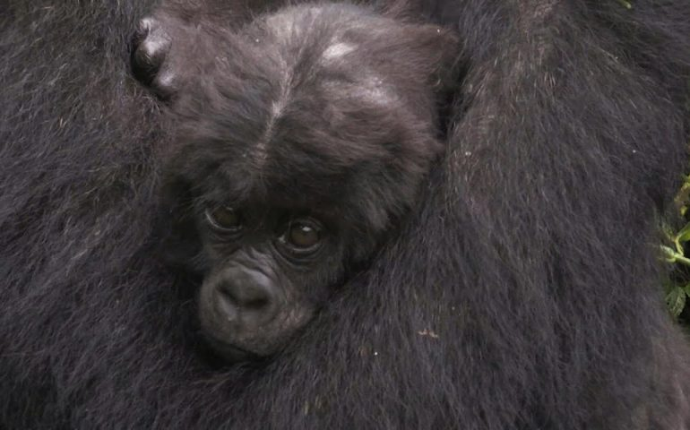 High-stakes conflict threatens DR Congo gorillas   AFP